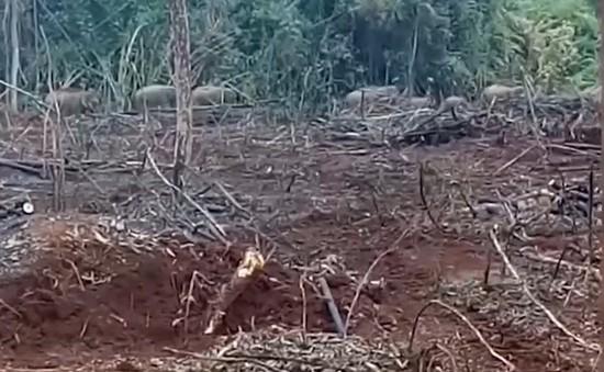 Đồng Nai: Voi rừng lại liên tục tàn phá khu dân cư