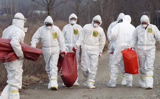 Thêm khu vực nhiễm cúm gia cầm ở Hàn Quốc