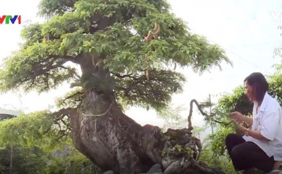 Cây me bonsai cổ thụ gần 100 tuổi độc đáo tại Long An