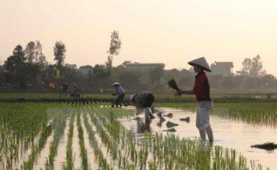 Gần 20% tổng diện tích gieo trồng vụ Đông Xuân đã có nước