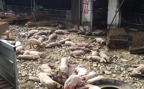 Đắk Nông: Trang trại bị lửa thiêu rụi, 1.200 con heo bị chết cháy
