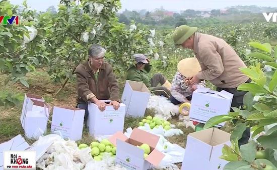 Mục sở thị quy trình trồng ổi an toàn tại Nghệ An