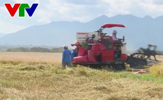 Ninh Thuận đẩy mạnh liên kết trong sản xuất lúa