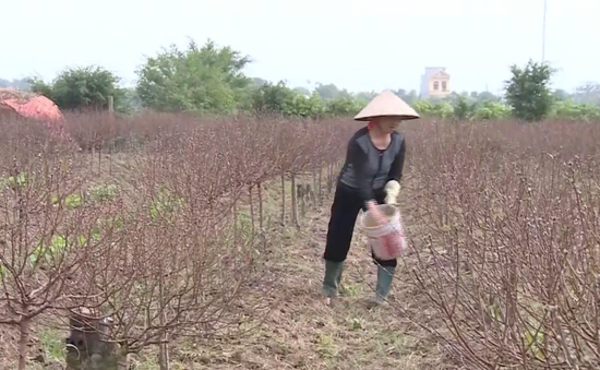 Nông dân Nam Định, Thái Bình lao đao do mất mùa đào