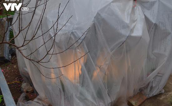 Hà Nội: Đào được phủ nilon, thắp đèn ủ ấm chống rét