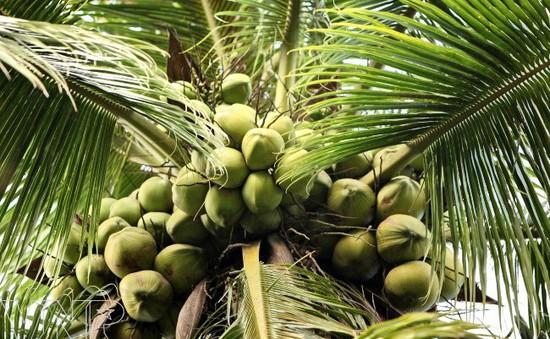 Dừa Bến Tre không bị tiêm hóa chất làm ngọt