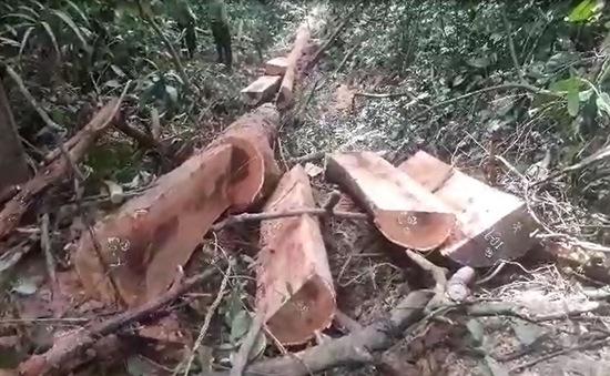 Quảng Nam gia tăng khai thác vận chuyển gỗ lậu dịp cận Tết