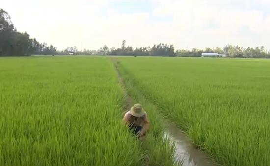 """""""Cò"""" lúa ráo riết thu mua lúa từ khi xuống giống"""