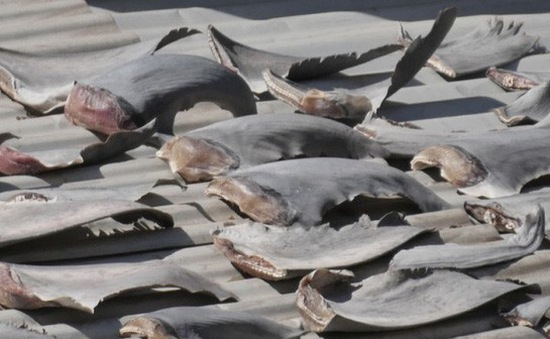 Bộ Công Thương yêu cầu báo cáo vụ phơi vây cá mập