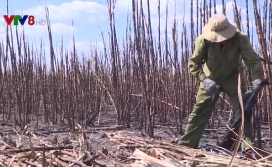Đắk Lắk: Hàng trăm hecta mía bị thiêu rụi không rõ nguyên nhân