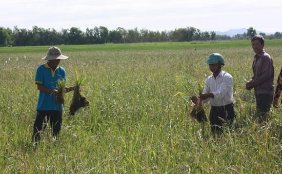 Chuột hoành hành dữ dội, nhiều diện tích lúa ở Vĩnh Long mất trắng