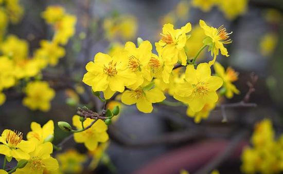Làm sao để hoa mai vàng nở đúng dịp Tết?