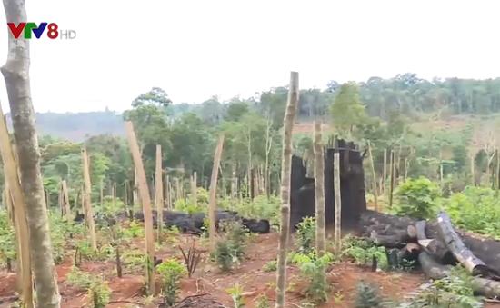 Tây Nguyên: Đất rừng bị lấn chiếm để trồng cây công nghiệp
