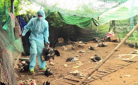 Long An công bố dịch cúm H5N1 trên gia cầm