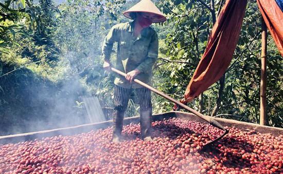 Vị Xuyên vào mùa thu hoạch thảo quả
