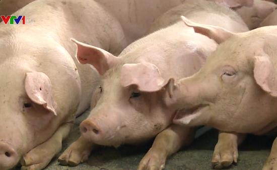 Nguồn cung thịt lợn không quá thiếu