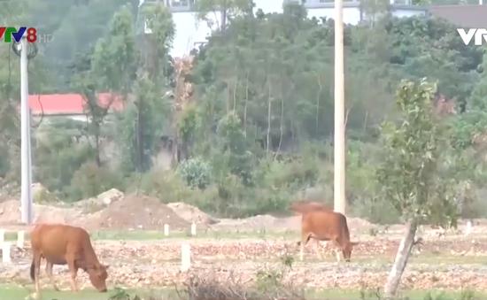 Nỗi lo mất bò ở các vùng quê Quảng Bình