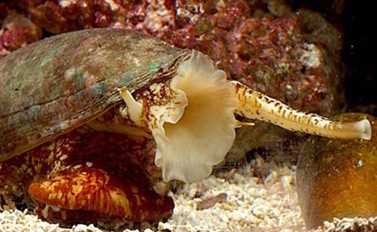 Dùng nọc độc của ốc sên biển để chữa bệnh