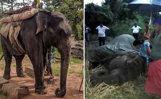 Voi Sri Lanka chết vì chở khách du lịch đến kiệt sức