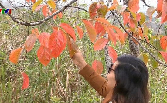 Mùa lá đỏ trên phố núi Đà Lạt