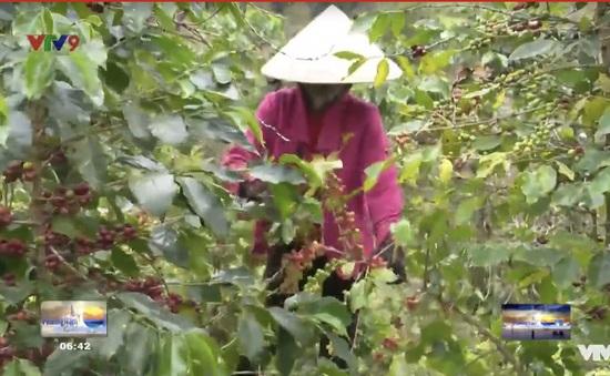 Lâm Đồng: E ngại thuê nhân công hái cà phê