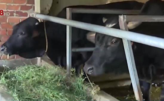 Quảng Nam: Xây nhà tránh lũ cho vật nuôi