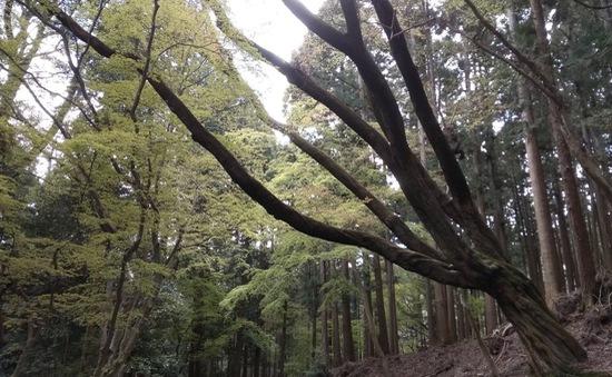 Kinh nghiệm trồng rừng và khai thác hiệu quả kinh tế từ rừng của Nara, Nhật Bản