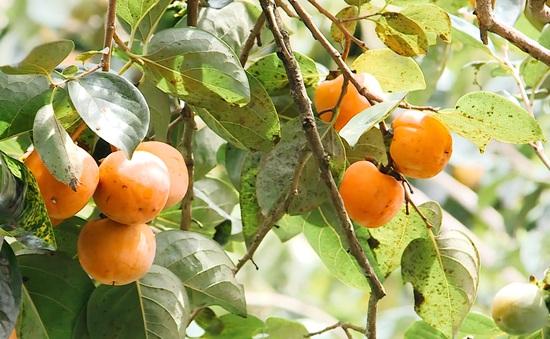 Mùa du lịch vườn hồng ăn trái