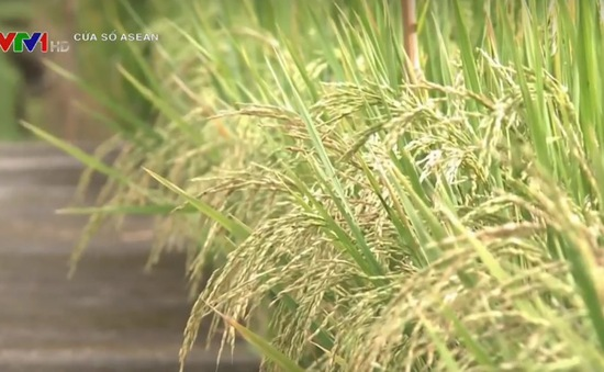 Philippines hỗ trợ nông dân lúa giống