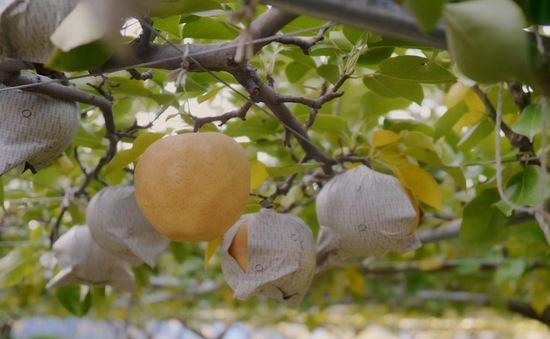 Trải nghiệm thăm vườn trái cây Nhật Bản