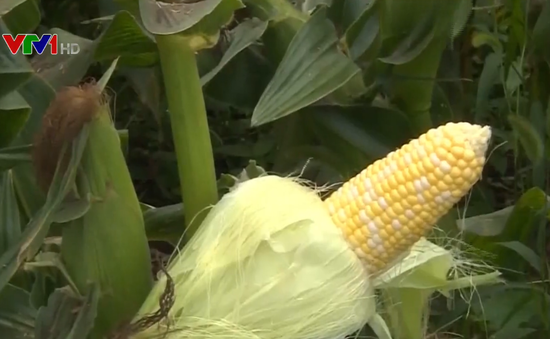 WTO: Trung Quốc trợ giá nông sản vượt mức cho phép