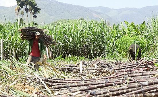 Khó khăn chất chồng giữa mùa thu hoạch mía