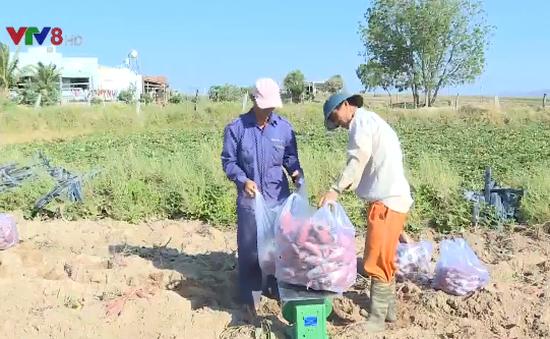"Lâm Đồng ""giải cứu"" khoai lang Gia Lai"