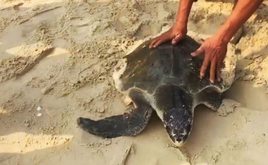 Thả cá thể rùa biển 30kg về biển an toàn