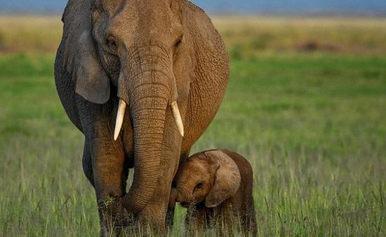 Loài voi tiến hóa không mọc ngà vì bị con người săn bắt