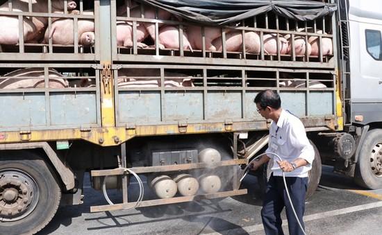 FAO không khuyến nghị ban bố tình trạng khẩn cấp về dịch tả lợn châu Phi