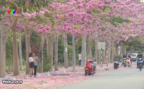 Lãng mạn sắc hoa kèn hồng