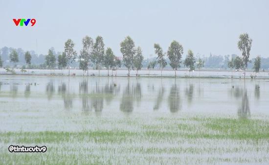 Đồng Tháp: Nước ngập trắng đồng, nông dân kêu cứu