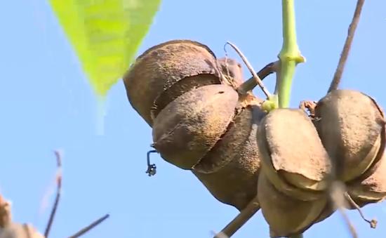 Nông dân lao đao vì trồng tự phát cây Sachi