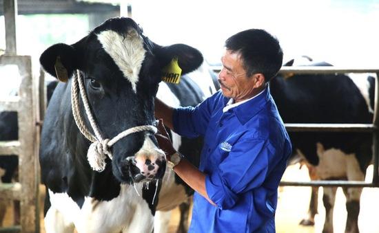 Mộc Châu Milk giữ lửa nghề chăn nuôi bò sữa cha truyền con nối cho nông dân