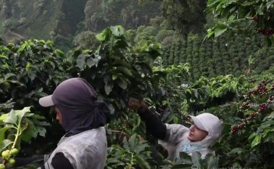 Mô hình trồng cà phê hữu cơ ở Colombia