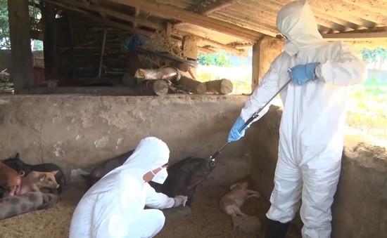 Thừa Thiên - Huế hỗ trợ chủ chăn nuôi có lợn bị tiêu hủy