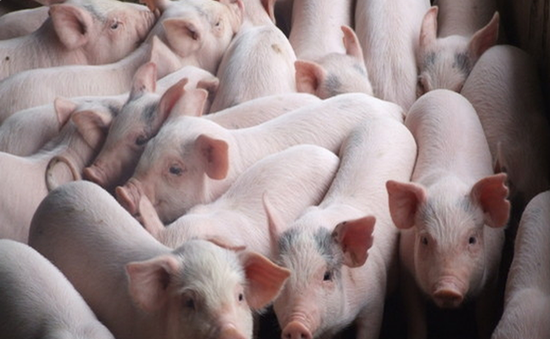 """""""Vứt xác lợn ra môi trường có thể bị xử lý hình sự"""""""