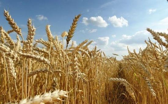 Australia nhập khẩu lúa mỳ lần đầu tiên sau 12 năm