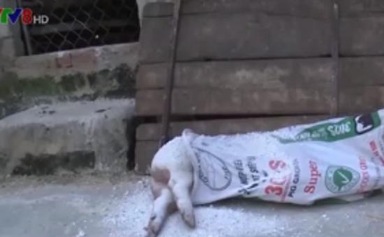 Khẩn trương ngăn chặn dịch tả lợn Châu Phi