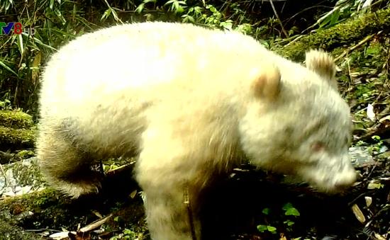 Phát hiện gấu trúc toàn thân màu trắng như gấu Bắc Cực