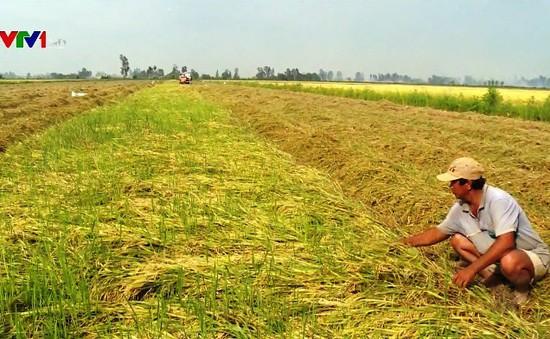 Cần Thơ: Hàng ngàn ha lúa bị lên mọng trên đồng