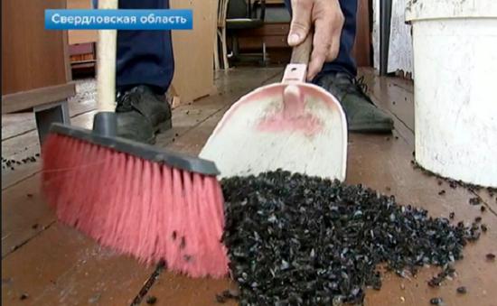 Dịch ruồi lên tới hàng triệu con tấn công Ural, Nga