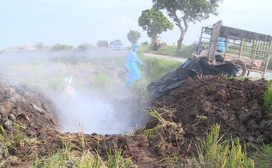 Tiêu hủy hơn 8 tấn lợn bị dịch tả châu Phi ở Bình Phước