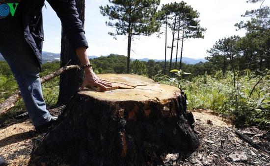 Lâm Đồng: Xử phạt đối tựng hạ độc 22 cây thông cổ thụ để chiếm đất sản xuất